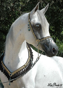 Straight Egyptian stallion by Gatsby CC for sale | The Covenant AE